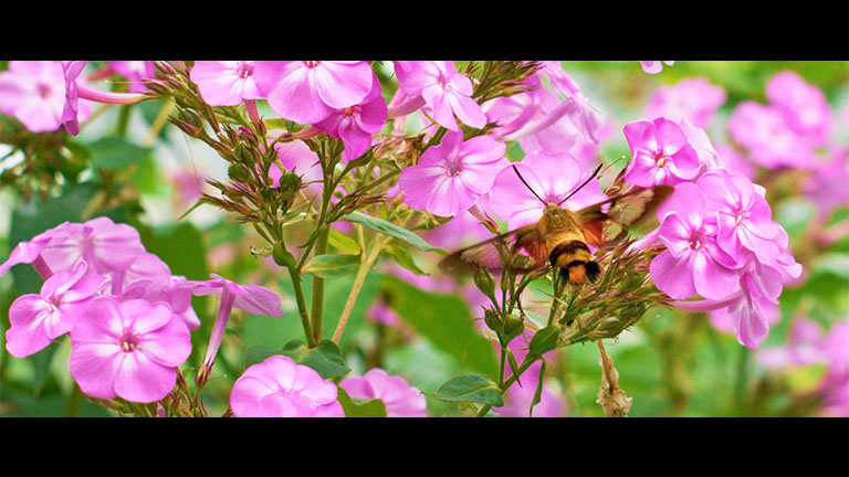 RED Weapon Helium Hummingbird Moth